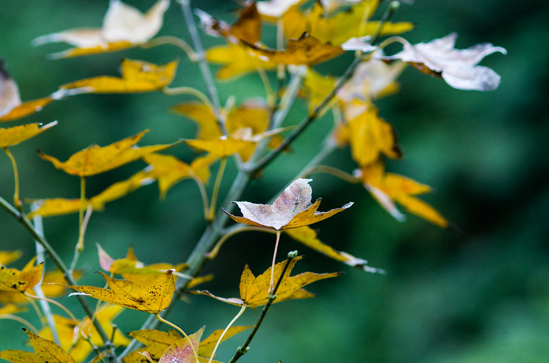 拍不到漂亮的楓葉