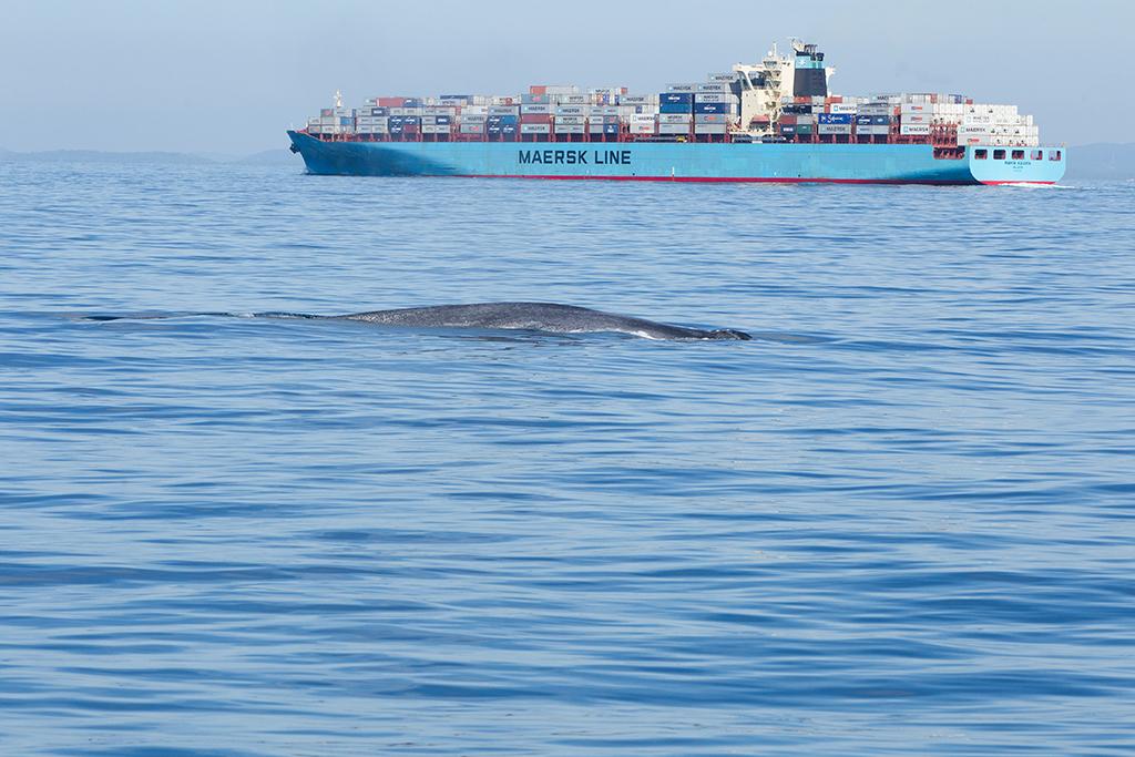 Blue Whale Sri Lanka 2013-11-25