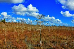 Cypress at the Everglades National Park