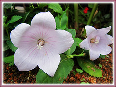 Platycodon grandiflorus (Balloon Flowers) with fabulous pinkish-white flowers, 30 Nov 2013