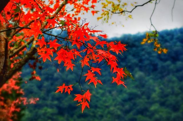 台七缐大同國中校園的楓葉
