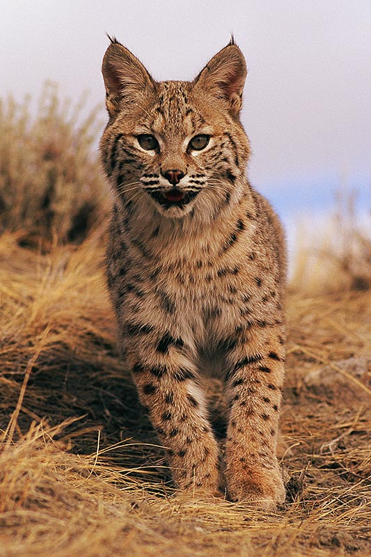 Wildlife in British Columbia, Canada: Bobcat