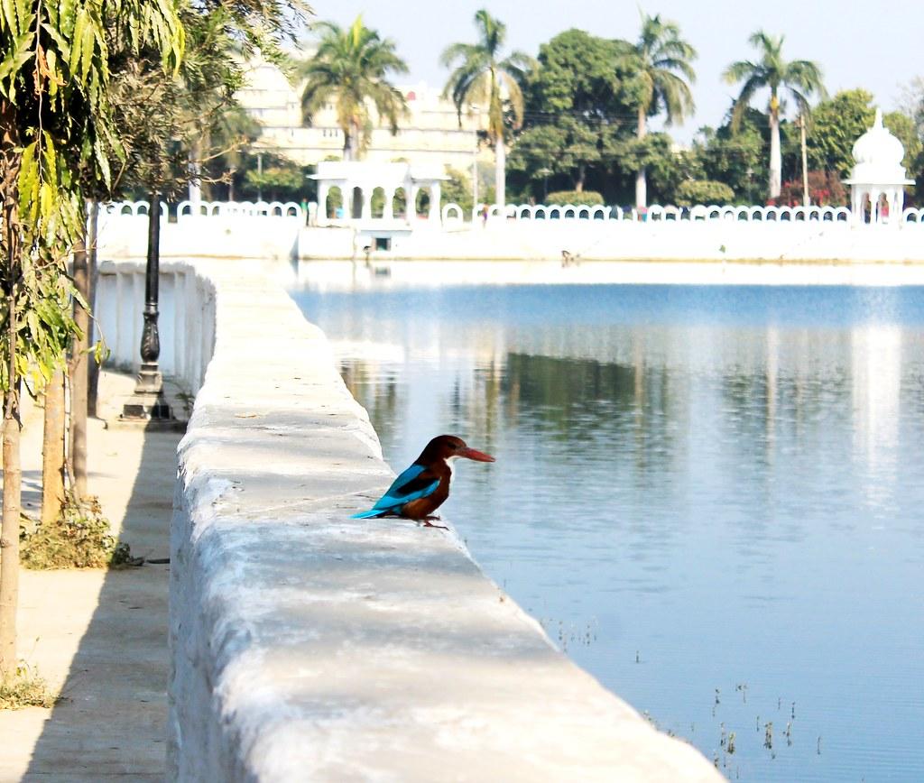 Kingfisher - Udaipur