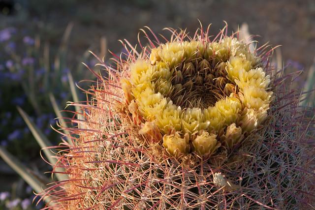 California Barrel Cactus, Ferocactus cylindraceus (Cactaceae)