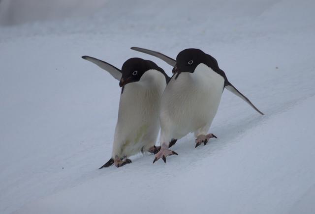 Adelie Penguins in Antarctica.
