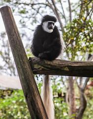 gibbon, animal, branch, monkey, fauna, new world monkey,