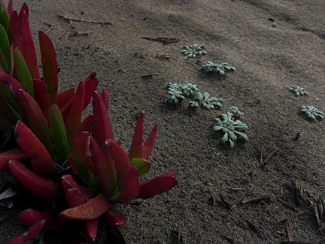 Ice Plants at Ocean Beach, San Francisco
