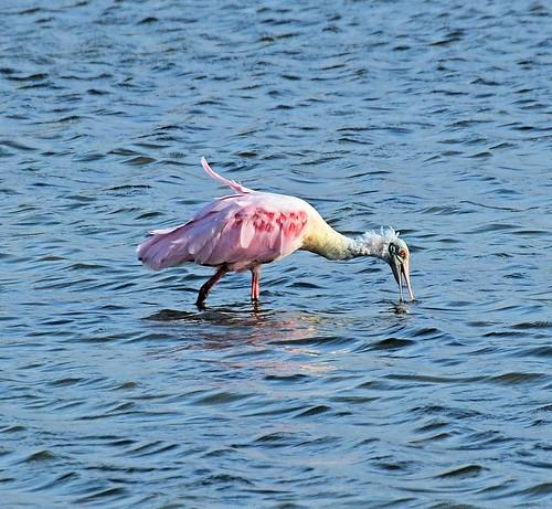 pink texas fulton rockport spoonbill roseatespoonbill ajaiaajaja nikond7000 nikkor18to200mmvrlens bayviewrvresort