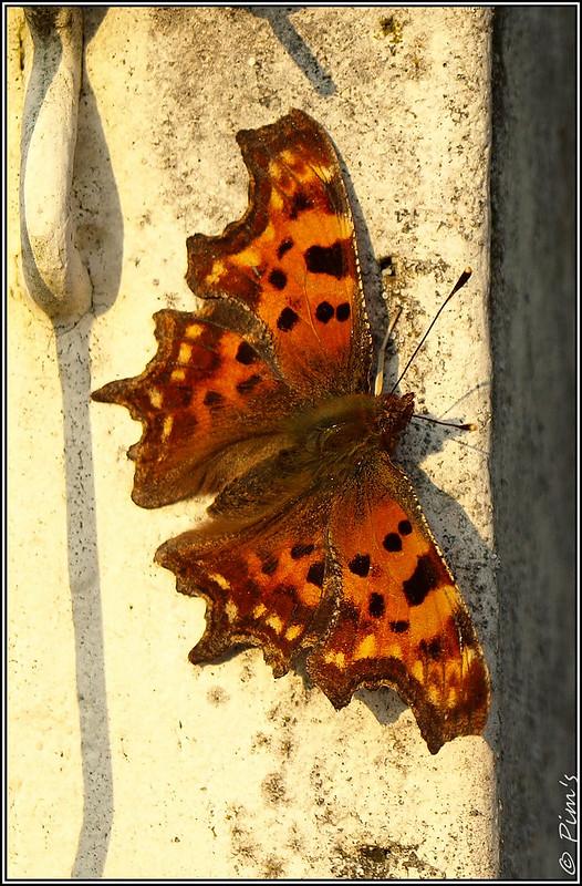 Les Papillons de retour... 13145367233_5334a26cef_c