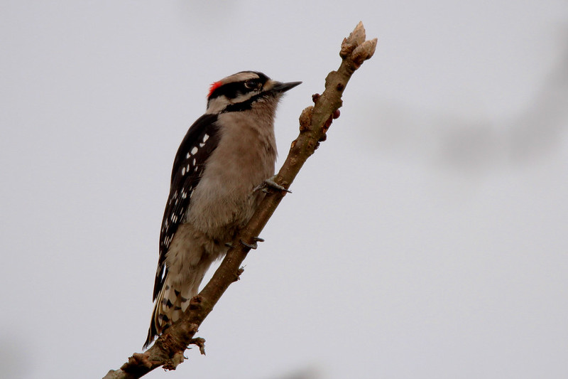 Birding In Bc Community View Topic Hairy Woodpecker