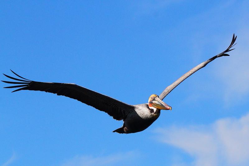 IMG_6845 California Brown Pelican at La Jolla