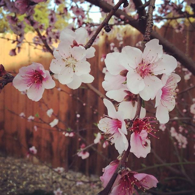 Nectarine Blossoms, by Jenna Francisco