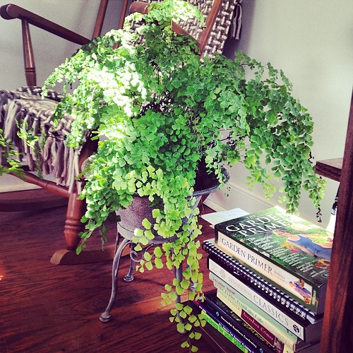 The maidenhair lives. Miraculously. #houseplantfever