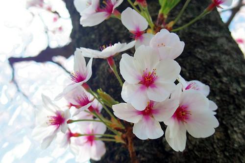 松ヶ丘公園の桜