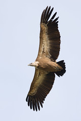 animal, hawk, bird of prey, eagle, wing, vulture, fauna, buzzard, kite, beak, bird,