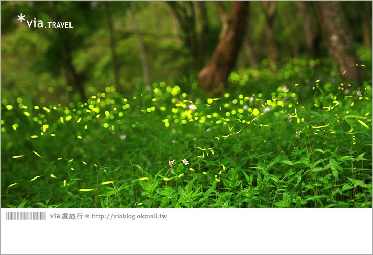 【台中螢火蟲】東勢林場螢火蟲~賞螢必遊!滿滿的螢火蟲閃爍夢幻光芒3