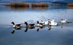 Ducks on the lake_Ioannina,Greece