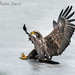 GORGEous nature posted a photo:	The Bald Eagles sometimes had a problem when landing on the ice last December.