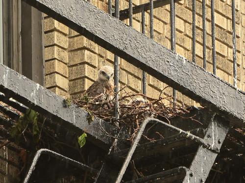 JHW Hawk Nest (0479)