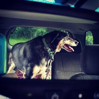 My copilot... Teutul. #happydog #carride #dogsofinstagram #dogstagram #instadog #rescueddogsofinstagram #coonhoundmix #adoptdontshop #seniordog