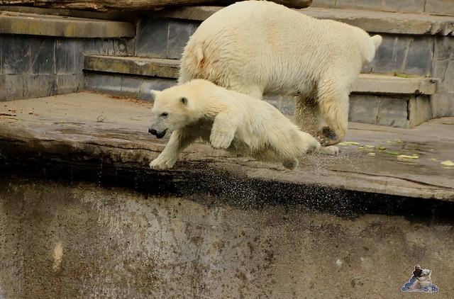 Eisbär Fiete im Zoo Rostock 11.07.2015  0238
