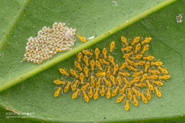 Barklice (Psocoptera) - DSC_6073
