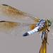 Dragonfly by Zsaj