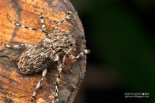 Longhorn beetle (Coptops lichenea) - DSC_6138