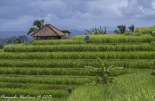 Paddyfields on the Hill