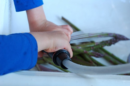 Washing the asparagus spears by Eve Fox, the Garden of Eating blog, copyright 2013