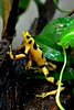 MorboKat posted a photo:	The Golden Frogs were very energetic.
