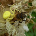 Yellow Crabspider and Honeybee
