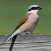 Red-backed Shrike by Ingeborg van Leeuwen