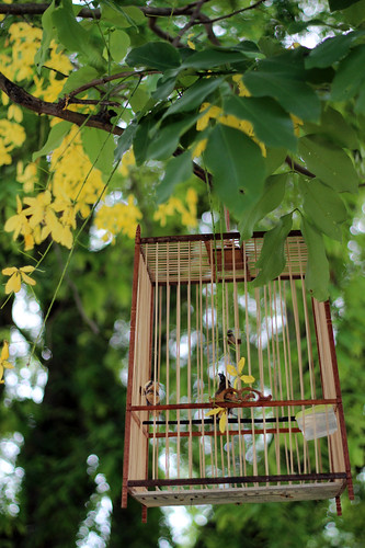 A bird in a cage under a padauk tree, Luang Prabang