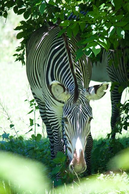 Zebra, Bronx Zoo