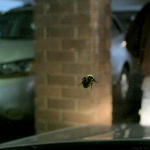Bumblebee on windshield, from inside