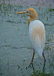 Cattle Egret Looking for Cattle in India