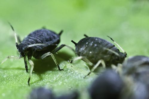 Black bean aphid