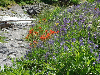 Wildflowers along the Timberline Trail at Heather Creek