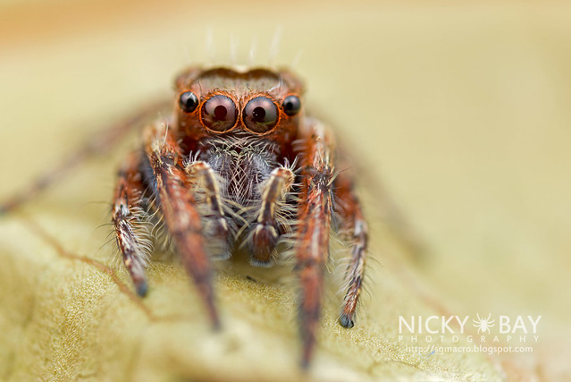Jumping Spider (Salticidae) - DSC_1014