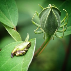 Young Tree Frog.