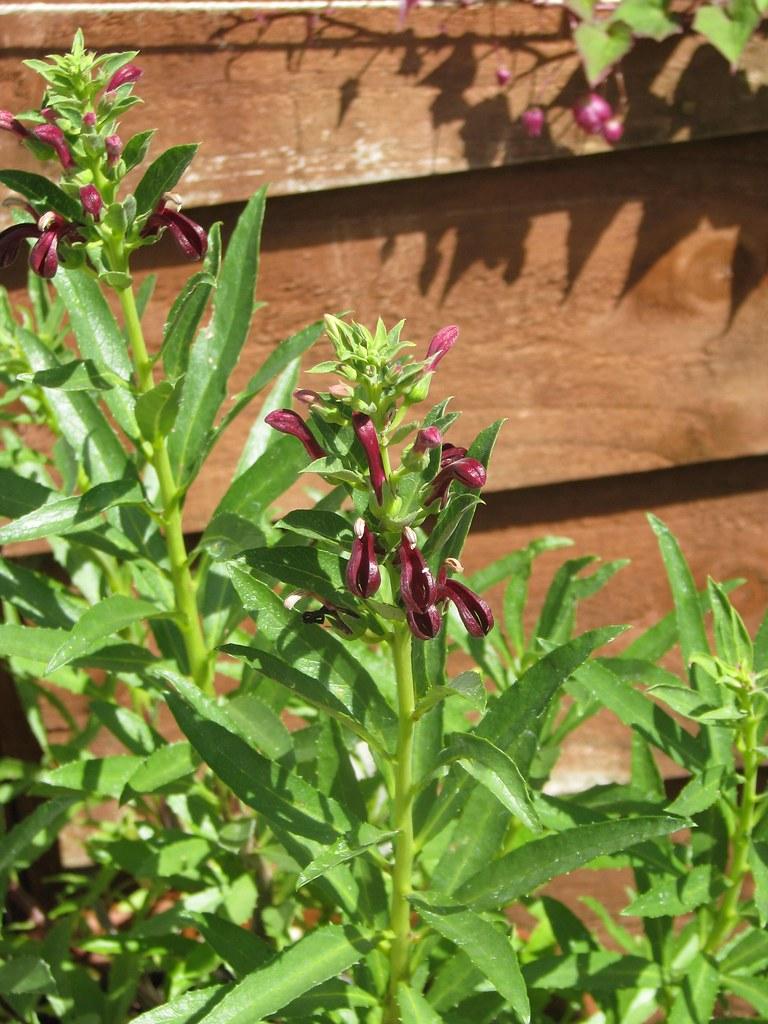 Lobelia polyphylla