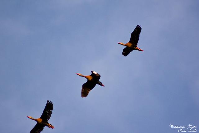 ducks13