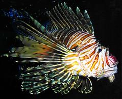 deep sea fish(0.0), goldfish(0.0), scorpionfish(0.0), animal(1.0), fish(1.0), wing(1.0), marine biology(1.0), macro photography(1.0), lionfish(1.0),