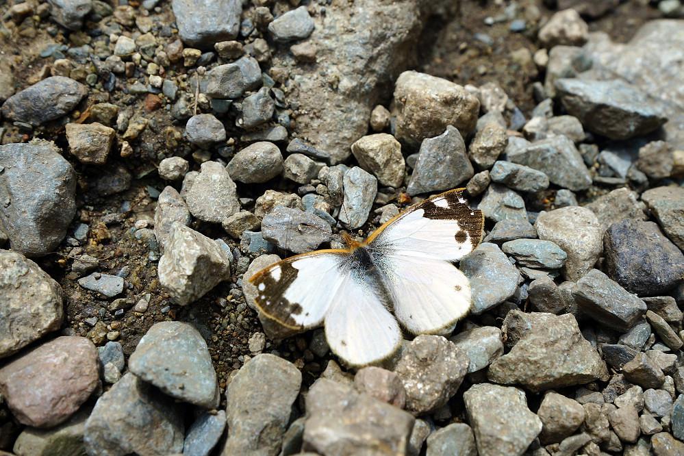 南美粉蝶 -1