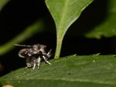 Phlobotomidae - Schmetterlingsmücke