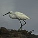 Little Egret, by the evening light. by Suri JV