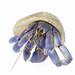 Painters hat - Coenobita purpureus