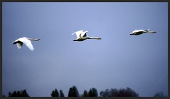 Whooper Swans. Martin Mere WWT Burscough, October 2013