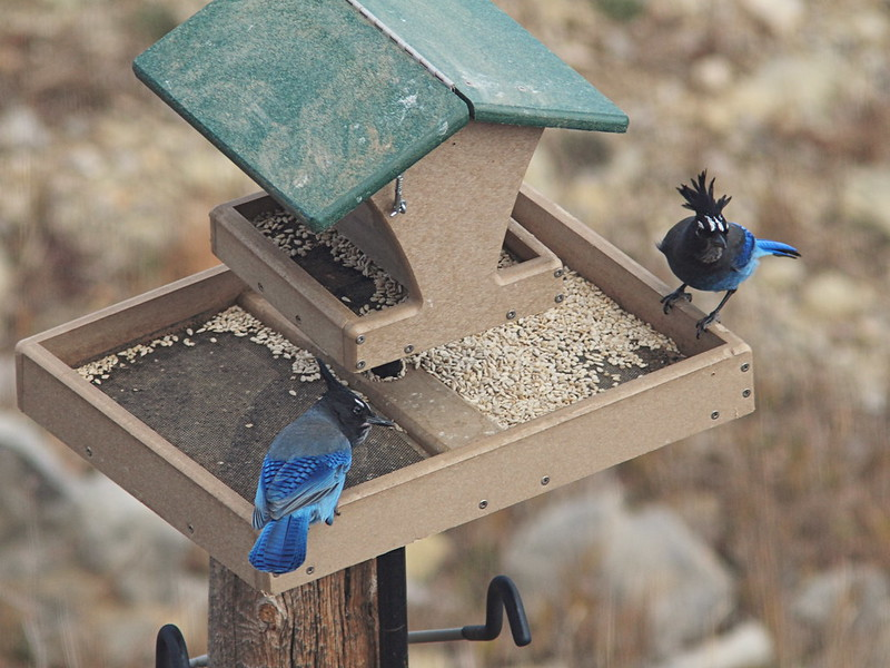 Lower feeder with Steller's Jays